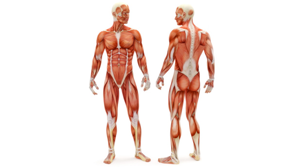 anatomy_body