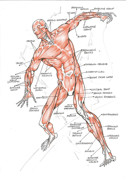 Анатомические детали