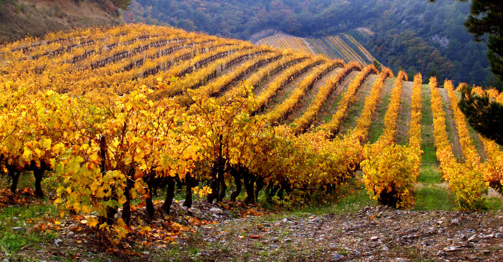 Vineyard Landscape in autumn