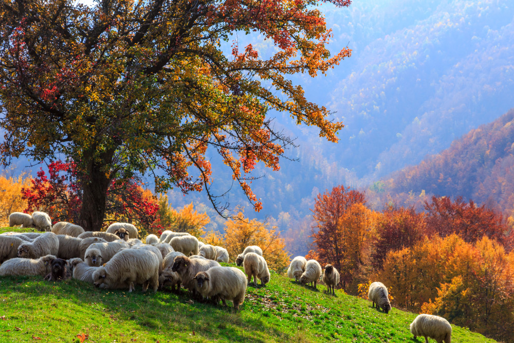 Autumn landscape, sheep, shepard dog