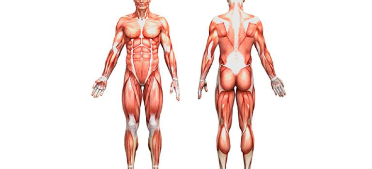 7 лекций по рисованию анатомии человека